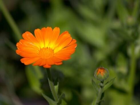Ringblomsten kommer i mange varianter. Noen har mange kronblader som gir en fyldig blomst med fine gul- og oransjetoner. Foto: Igor Zhorov Foto: Igor Zhorov/istockphoto.com