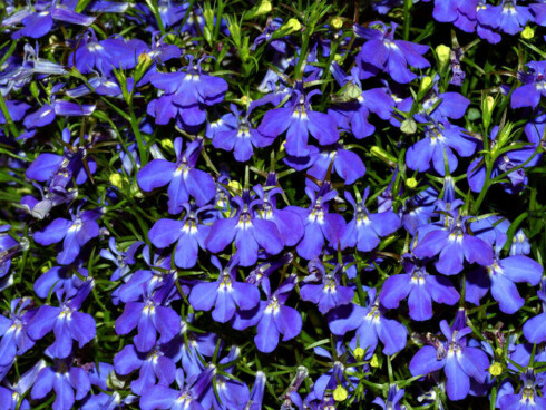 Lobelia finnes også som hengelobelia. Planter og blomster som henger er med på å ramme inn balkongen. Tåler skygge. Foto: Wikipedia