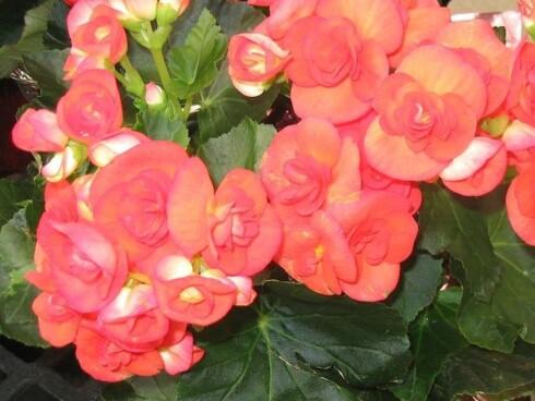 Begonia tåler godt å stå på skyggefulle plasser. Finnes også som hengebegonia. Foto: Wikipedia