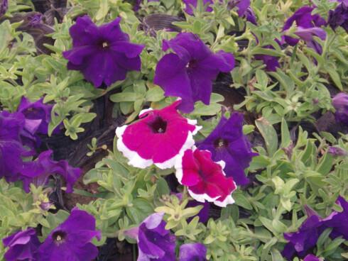 Petunia finnes i mange ulike fargekombinasjoner og i flere størrelser. Foto: Wikipedia