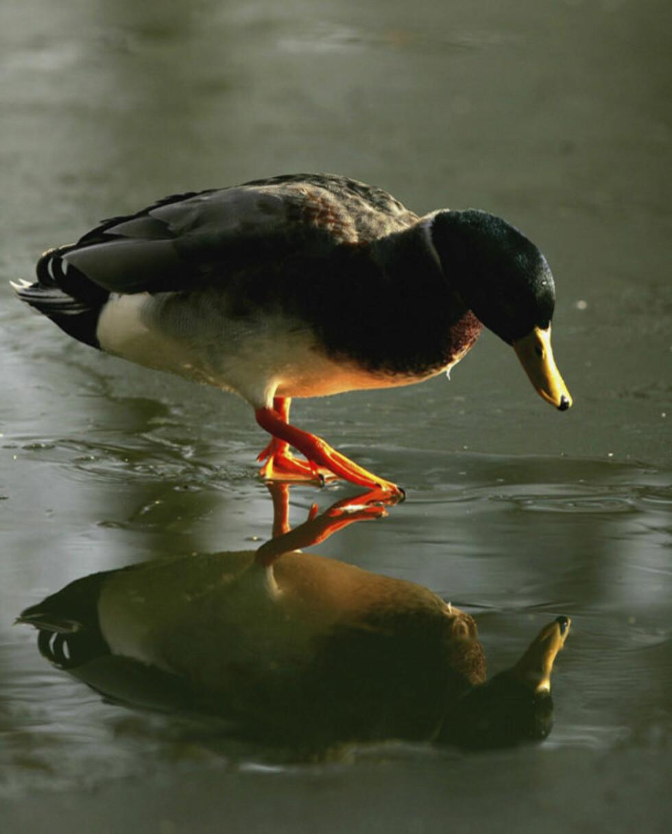 Denne anden lever i beste velgående, men på Jæren ble 15 døde andefugler oppdaget i går kveld.