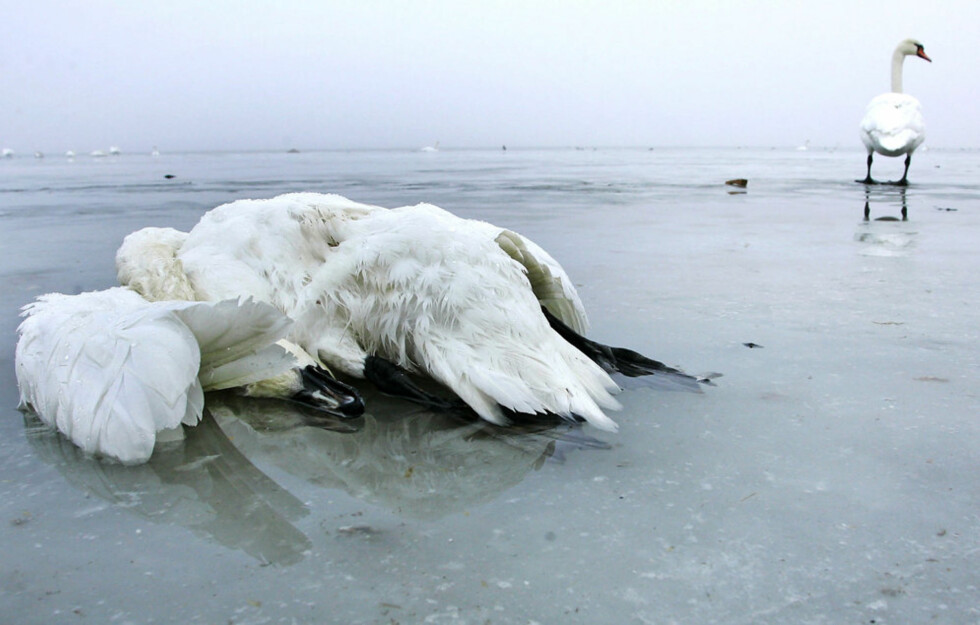 - Nesten umulig å få fugleinfluensa