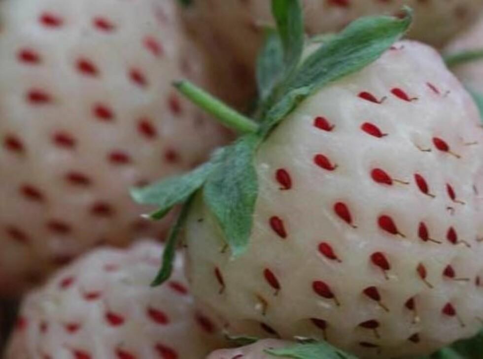 <strong>HVITE FRISTELSER:</strong> Akkurat dette hvite bæret smaker ananas, men en svensk hobbygartner har dyrket frem et hvitt jordbærsmakende jordbær som til og med allergikere tåler.  Foto: Waitrose