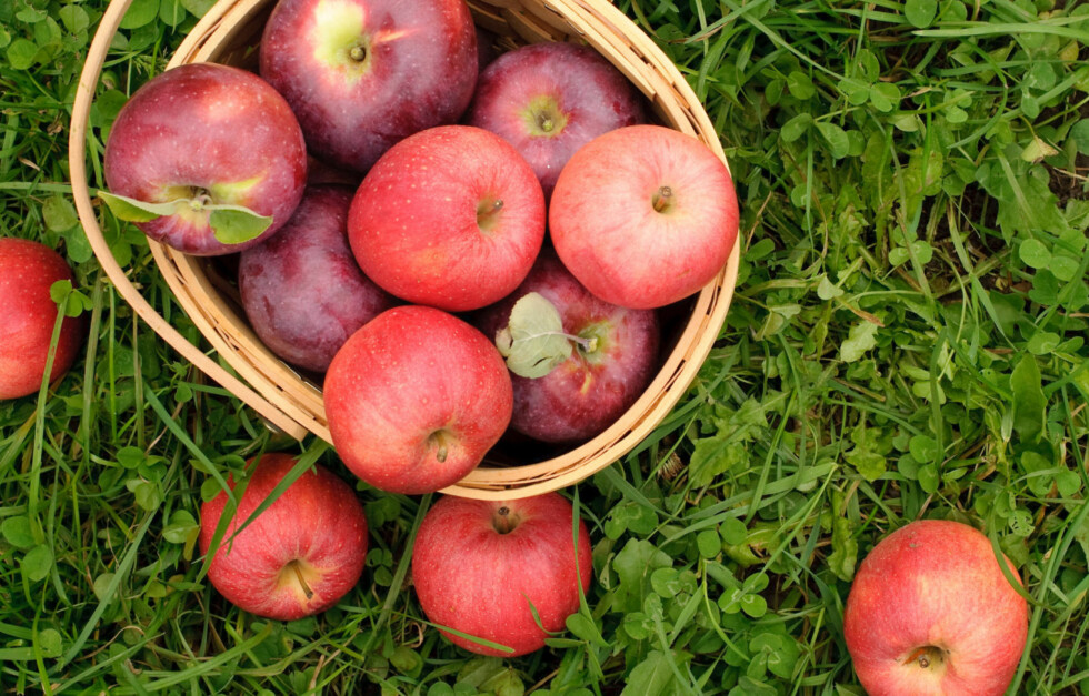 <strong>SJEKK EPLENE FØRST:</strong> Dersom du har tenkt å spise, eller lage noe av nedfallsfrukter (som epler), så sjekk at de ikke har flekker på seg først. Har de flekker, kan de inneholde helseskadelig muggsoppgift.  Foto: Getty Images/Image Source