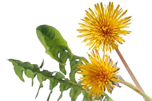 LØVETANN: Løvetannblader kan brukes i salat, og blomsterknoppene kan også stekes og brukes, for eksempel i omelett.