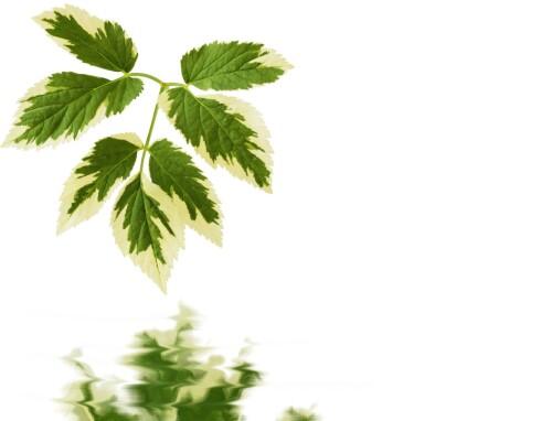 SKVALLERKÅL: Bladene kan knuses og lages te av (har positiv virkning mot gikt og revmatisme). Bladene kan også brukes til stuing og supper. Foto: Getty Images/Hemera