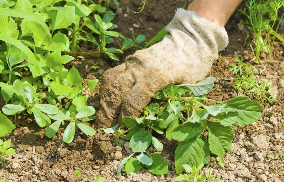 SPISELIG: Flere ugress-typer her til lands (for eksempel løvetann og brennesle) er spiselige. Det er imidlertid viktig at du passer på at du plukker/luker riktig plante til måltidene dine.