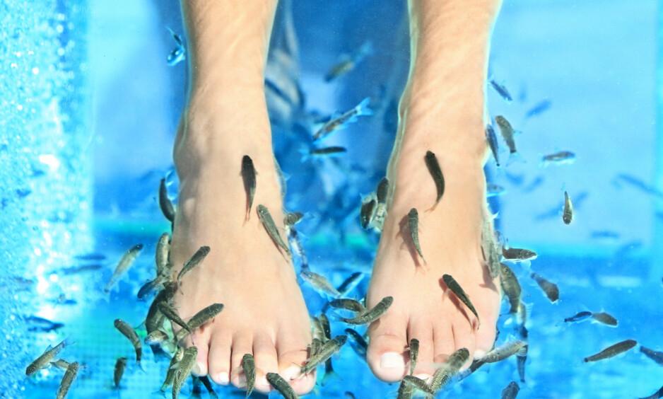 FISKESPA: Å putte føttene sine i tanker med fisk som spiser døde hudceller er en stadig populær spabehandling, men er det trygt? FOTO: Scanpix.com