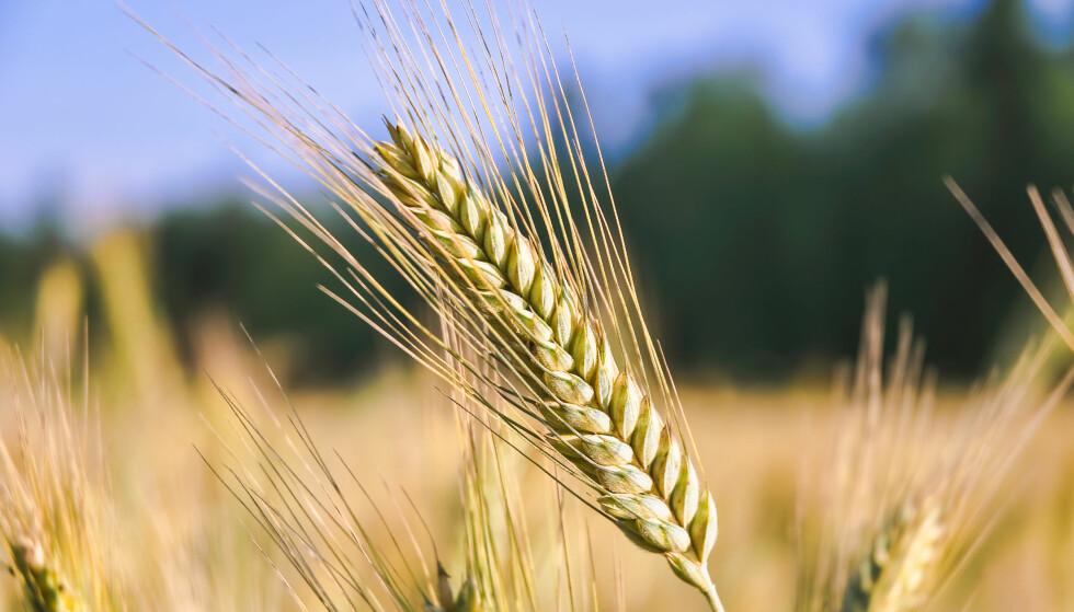 KVALITET: Rugen som brukes i Proteinbrød fra Mestemacher går gjennom strenge kontroller. FOTO: NTB/Scanpix