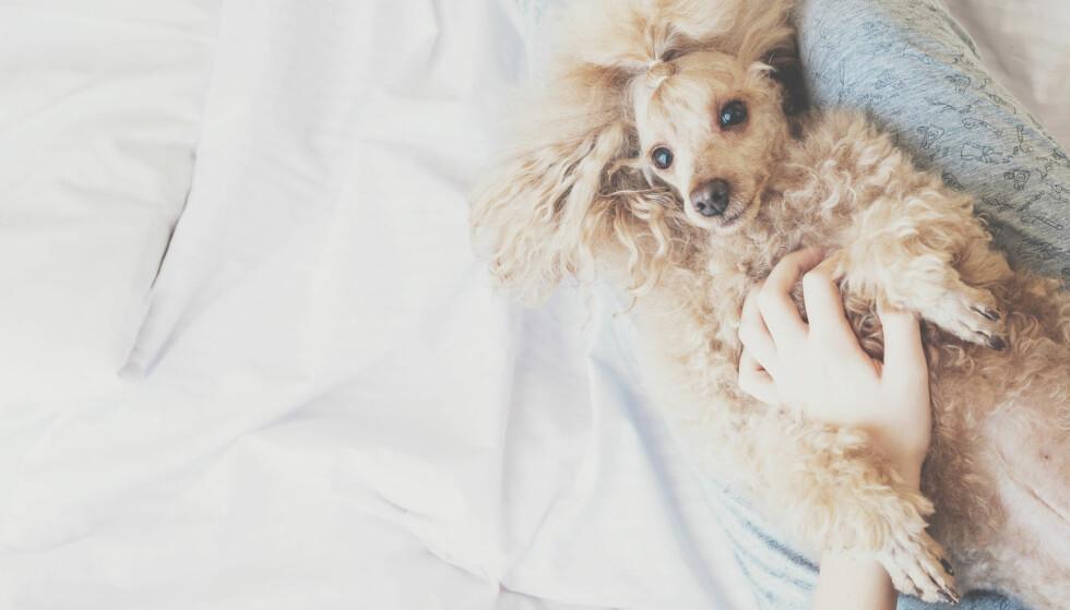 SOVE MED KJÆLEDYR: Det er koselig å sove med kjæledyret i senga, men er det så hygienisk? Foto: NTB Scanpix