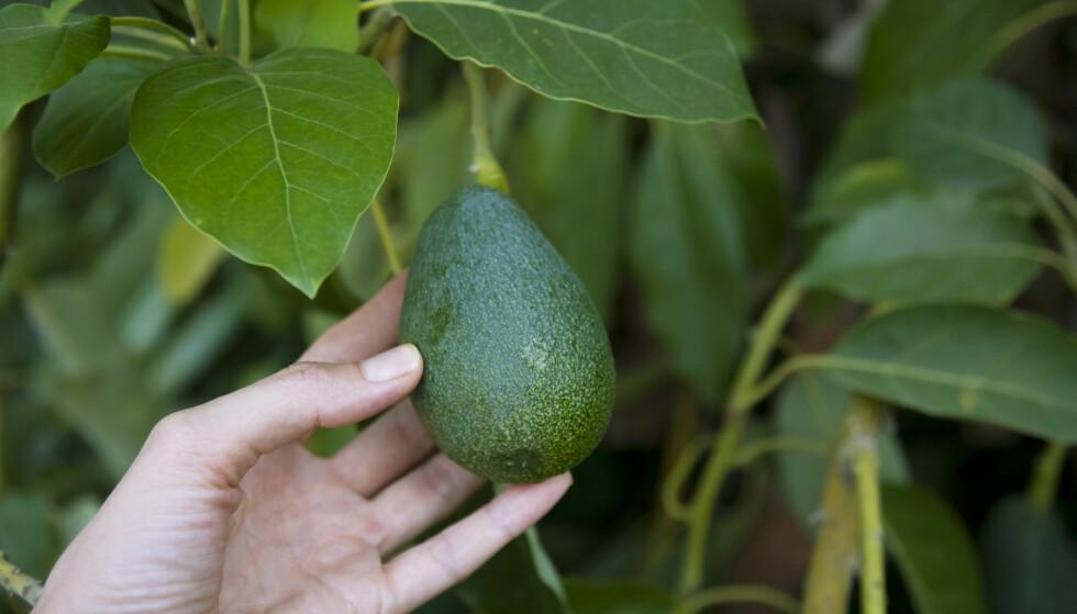 AVOKADO: Nå kommer det en lettere avokado. Dette mener ernæringsekspertene om nyheten. FOTO: NTB Scanpix