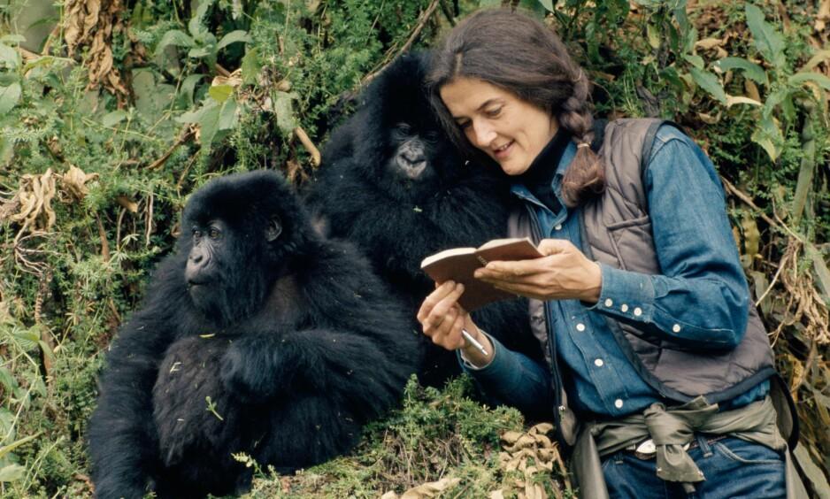 <strong>DIAN FOSSEY:</strong> Den amerikanske kvinnen Dian Fossey brukte 18 år på å studere fjellgorillaer i jungelen i Rwanda. FOTO: National Geographic