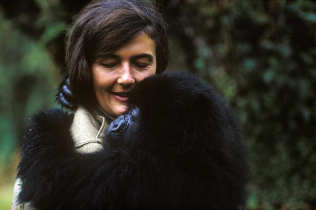 <strong>NÆRKONTAKT:</strong> Dian Fossey med en av de mange gorillaene som hun utviklet et nært forhold til i jungelen i Rwanda. FOTO: National Geographic