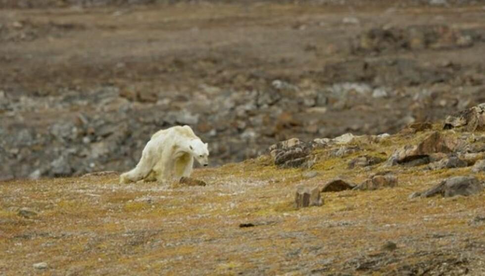 GLOBAL OPPVARMING: Denne isbjørnen var i ferd med å dø av sult da kamerateamet oppdaget den. FOTO: Skjemdump Instagram @paulnicklen