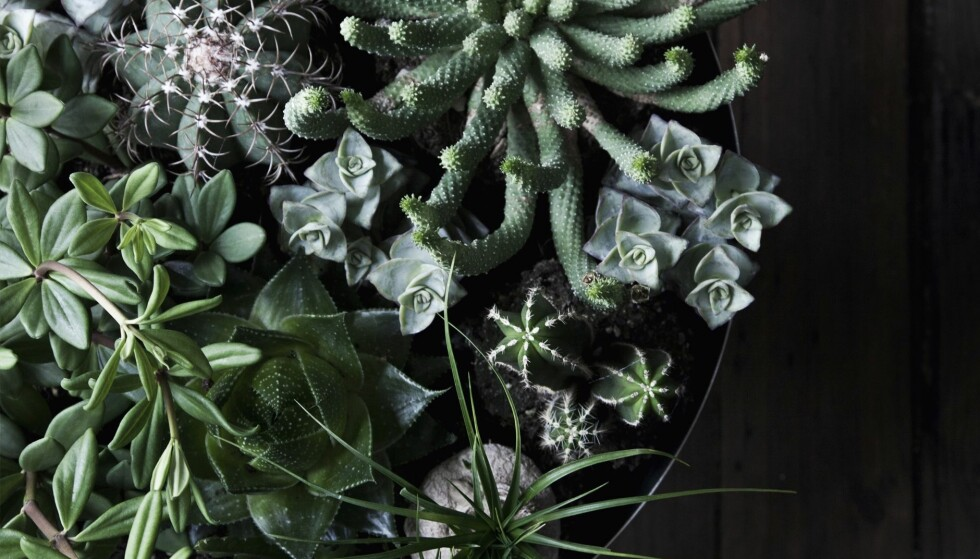GRØNNE PLANTER: Vi elsker grønneplanter. Ikke bare er de dekroative, de er også umulige å mislykkes med. FOTO: Pernille Enoch