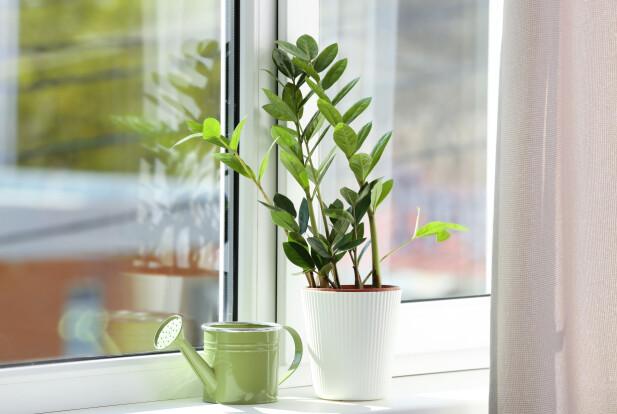ZAMIOKULKAS: Denne planten er både lettstelt og stilig, med sine blanke, grønne blader og stilker som vokser i høyden. FOTO: NTB Scanpix