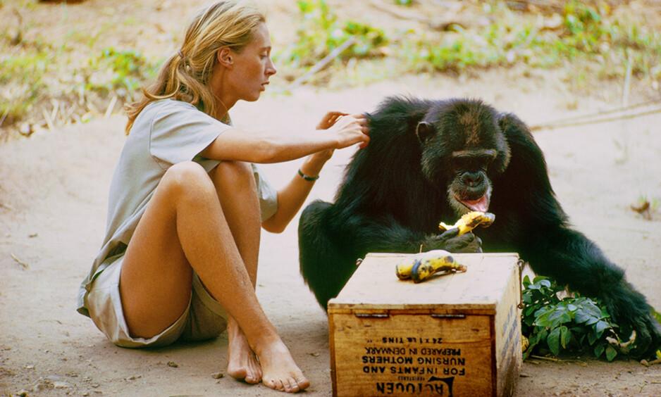 JANE GOODALL: Britiske Jane Goodall takket ja til tilbudet om å dra alene til Tanzania i 1960 for å studere sjimpansens adferd. Da var hun bare 26 år gammel. FOTO: National Geographic
