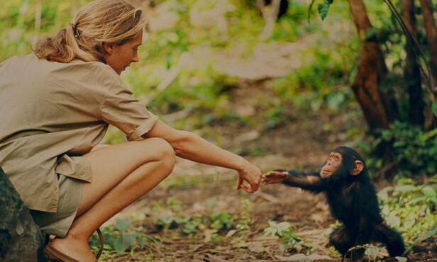 NÆRKONTAKT: Den første tiden var Jane Goodall alene i jungelen i Tanzania. Etter hvert forsto hun at hun måtte ha noen med seg, og moren meldte seg frivillig. Sjimpanseforskningen skulle i utgangspunktet vare i seks måneder, men pågår den dag i dag. Foto: National Geographic