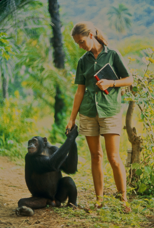 NÆRKONTAKT: I 1961 startet Jane Goodall forskningsarbeidet i Tanzania. Foto: National Geographic
