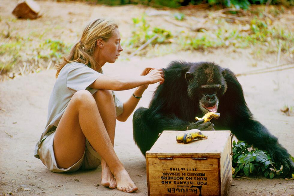 TOK SIN TID: Det tok Jane Goodall fem måneder å oppnå fysisk kontakt med sjimpansene. Foto: National Geographic