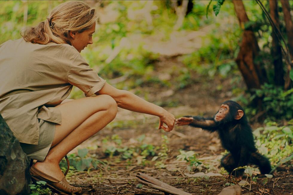 DOKUMENTAR: 18. mars er det premiere på dokumentaren Jane basert på råklipp fra forskningarbeidet gjort på 60-tallet. Foto: National Geographic
