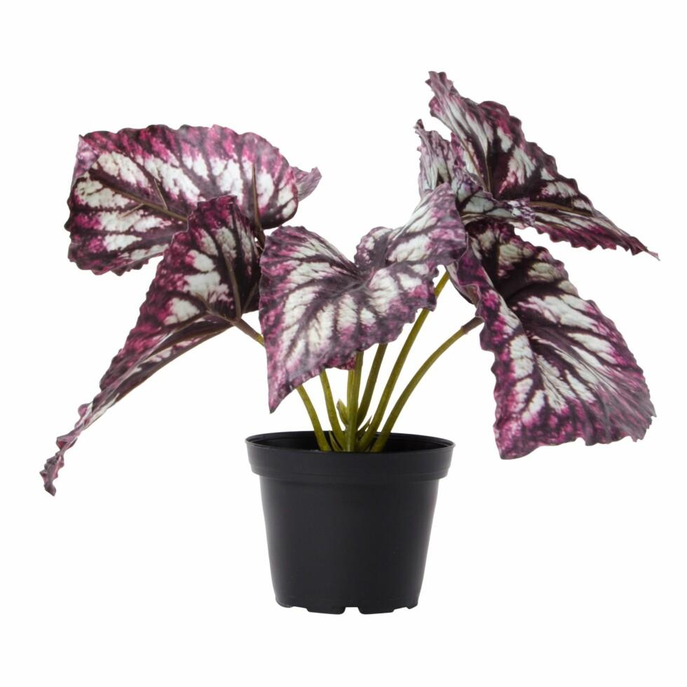 <strong>Plante fra Lagerhaus  149,-  https:</strong>//www.lagerhaus.no/nyheter/plante-rexbegonia