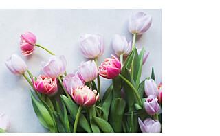 Trendy tulipaner