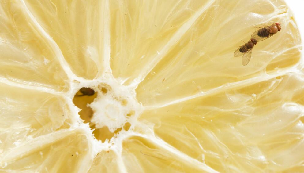 BANANFLUER KOMMER INN OM HØSTEN: Fruktfluene er små og lyse, og kommer inn i norske hjem på sensommer og høst. FOTO: NTB Scanpix