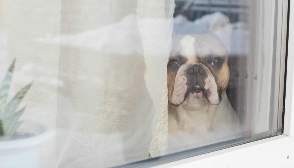 LA HUNDEN VÆRE ALENE HJEMME: Hvor lenge pleier du å la hunden være alene hjemme? FOTO: NTB Scanpix