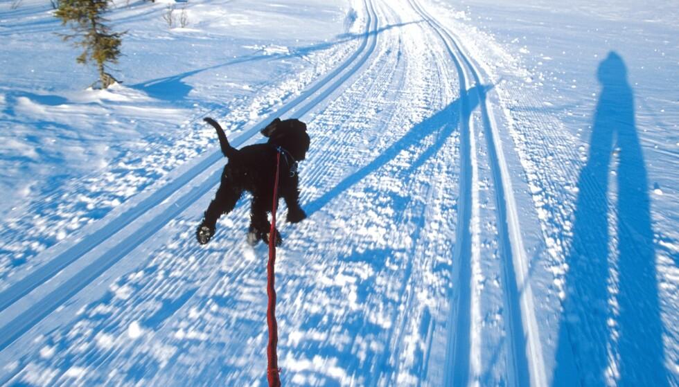 UTEN BÅND: Det er ikke båndtvang i marka, men likevel burde det være en gyllen regel som tilsa at man har hunden sin i (kort) bånd når den er med på skitur. FOTO: NTB