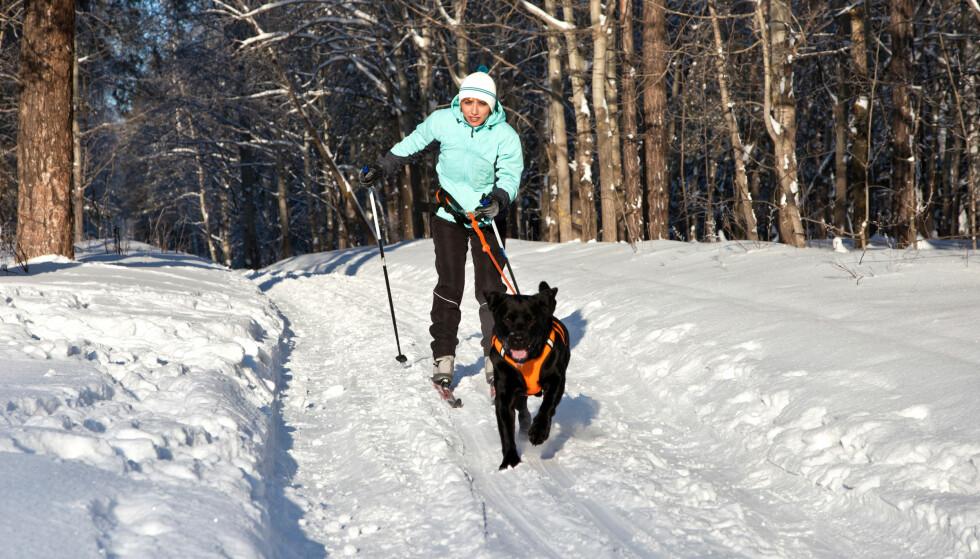HUNDER I SKISPORET: KK-journalist Malini Gaare Bjørnstad har ingenting til overs for hunder som løper fritt i skisporet. Dette er et illustrasjonsfoto. FOTO: NTB