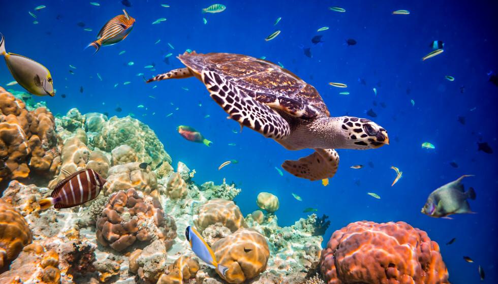 Maldivene er et dykkerparadis (Foto: Scanpix)