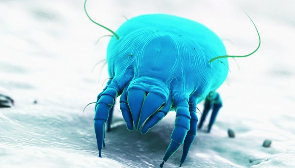 UVELKOMMEN GJEST: Midd lever av hudavfall og svette i sengen, og det er avføringen fra midden som kan gi allergi. FOTO: NTBScanpix