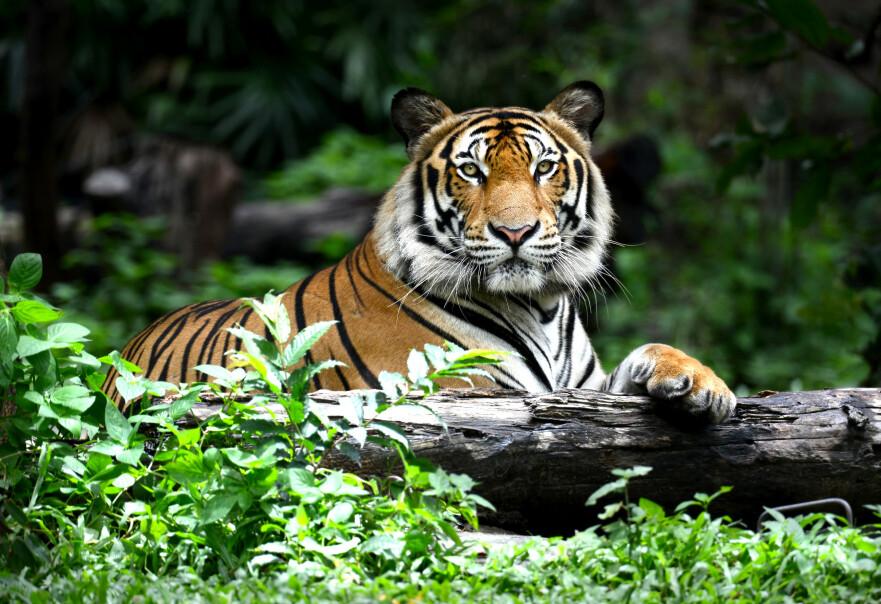 KRITISK TRUET: Tigeren er blant dyrene som er utrydningstruet. Foto: Scanpix