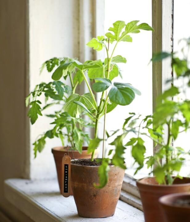 Tomater og meloner skal stå varmt og lyst innendørs til det er blitt varmt utendørs.