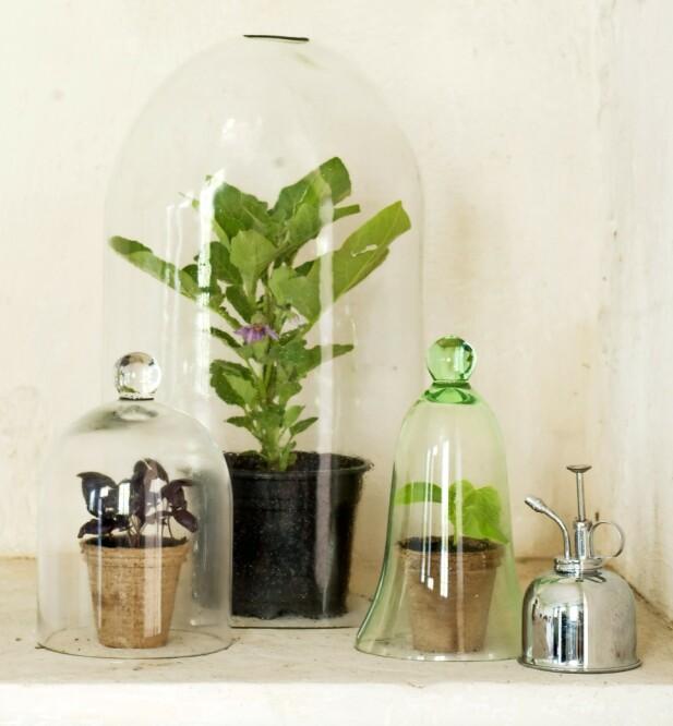 Varmeelskende planter som aubergine, basilikum og agurk vil gjerne stå i en klokke.