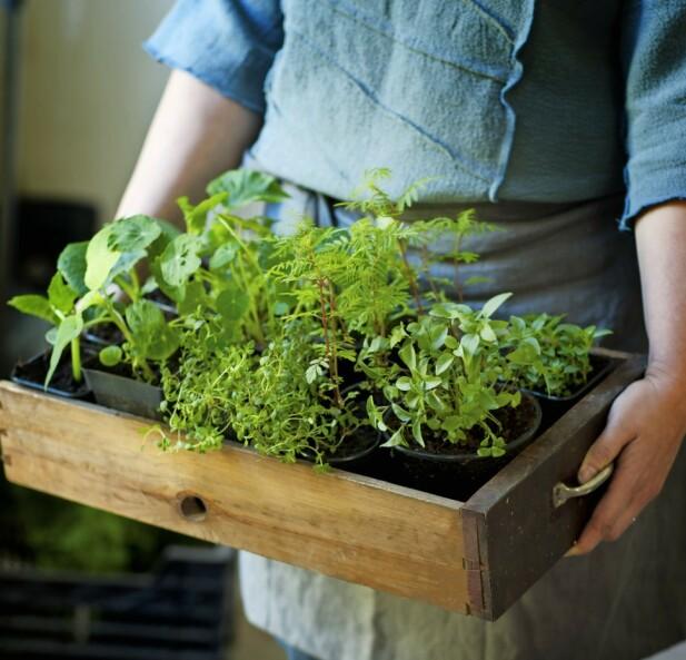 Når plantene er store nok til å bli plantet ut i hagen, må de gradvis vennes til kulden. Sett dem derfor utendørs kun en time eller to hver dag i en uke.