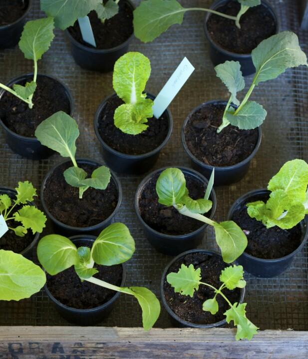Det er blitt populært å dyrke kål igjen, og det er mange forskjellige typer du kan forspire.