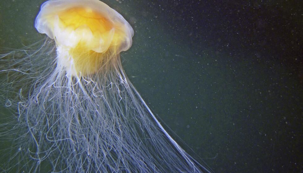 MANETÅR: Rapporter som Havforskningsinstituttet har fått inn kan tyde på at 2019 blir et manetår, så sjekk sjøen før du hopper uti. FOTO: Scanpix