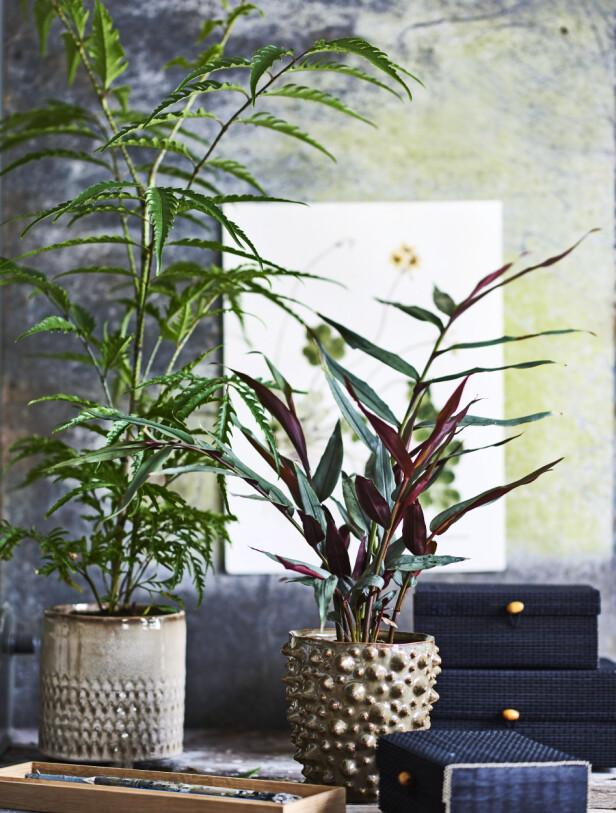 Lengst til venstre en bamboo ginger (Alpinia luteocarpa) og til høyre en aralia.