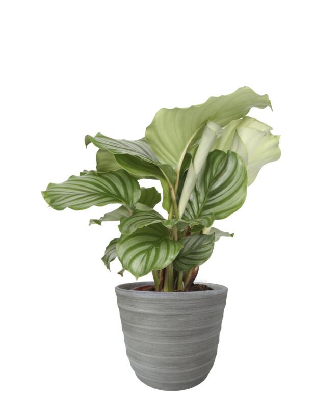 Plante (kr 150, Plantasjen). FOTO: Produsenten