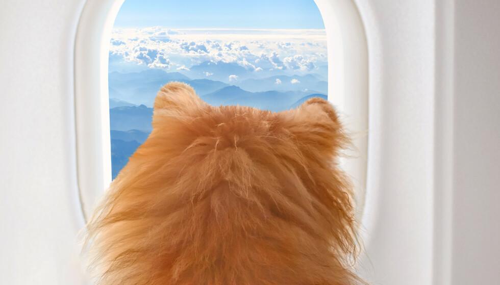 SER LITT PÅ LIVET: Veldig små hunder kan reise i flykabinen, men reglene varierer hos de forskjellige selskapene. FOTO: NTBScanpix