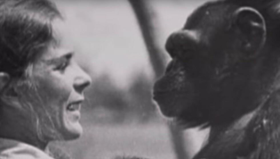 Linda reddet sjimpansen Swing fra fangenskap. Etter 25 år møttes de igjen ...
