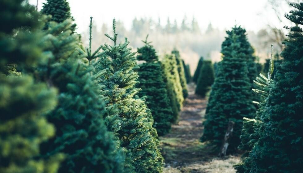 AKKLIMATISER: - La gjerne juletreet stå ute i kjølig vær inntil du skal bruke det. Ute er holdbarheten best, sier ekspert. FOTO: Scanpix