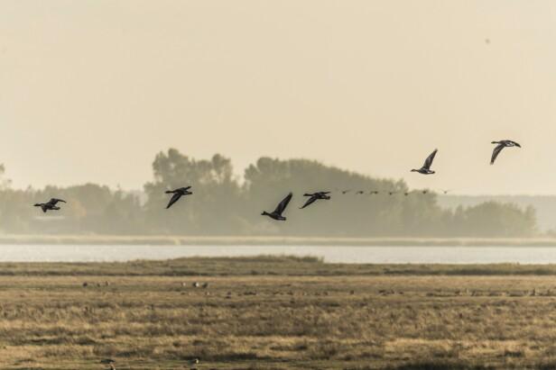 Nationalpark Vorpommersche Boddenlandschaft er et eldorado for naturelskere – og fugler, slik som disse gjessene. FOTO: Mikkel Bækgaard