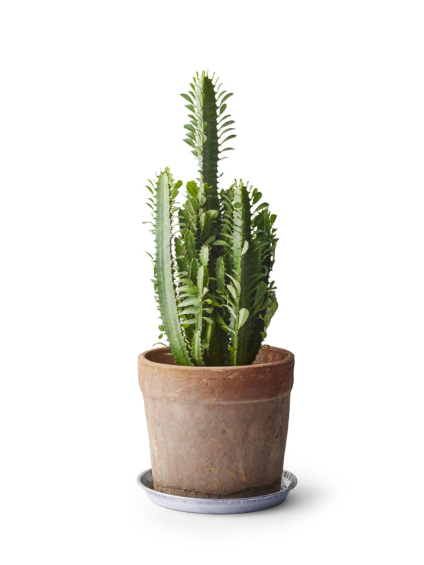 Kaktus (kr 300, Plantasjen). FOTO: Produsenten