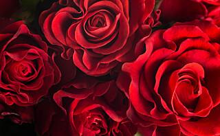 Slik holder rosene dine lenger