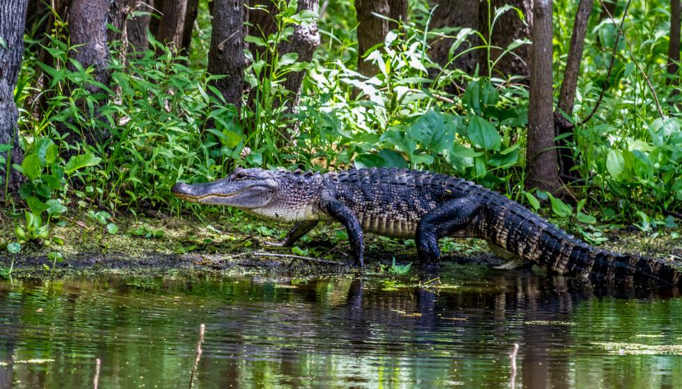 FRI GIGANT: Et blinkskudd av amerikansk alligator. Arten lever i det fri i de Sørøstlige delene av USA, blant annet i Florida. FOTO: NTBScanpix