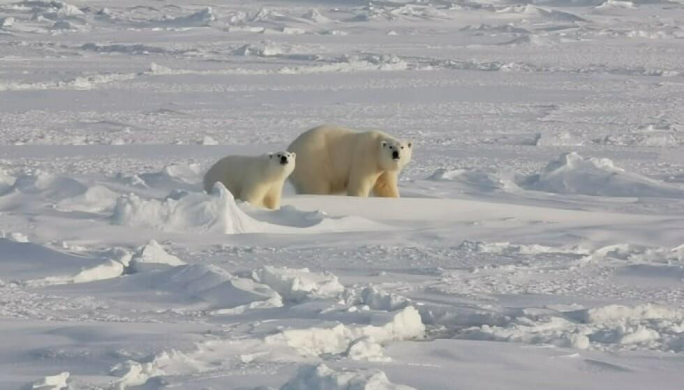 EN DRØM: Isbjørn sto på Erikas bucket-liste. Det var stort da hun fikk se isbjørn med unger. FOTO: privat