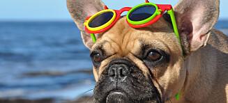 Her bør også hunden bruke solbriller i sommer